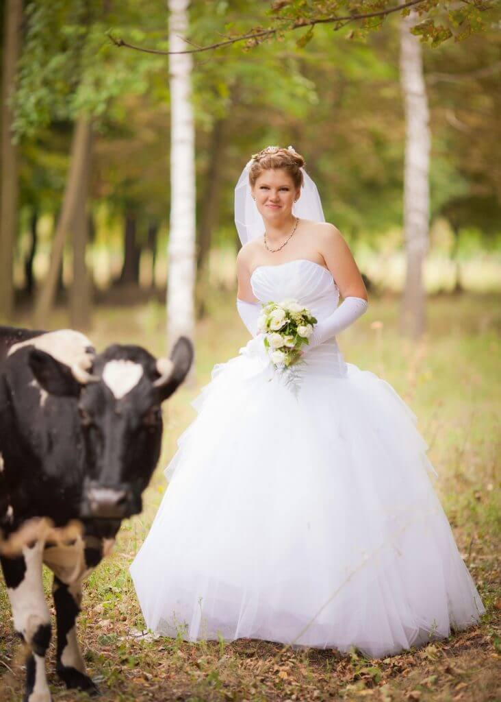 Zimbabwe cow wedding tradition